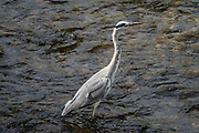 The grey heron (Ardea cinerea) is a long-legged predatory wading bird of the heron family, Ardeidae, native throughout temperate Europe and Asia and parts of Africa. It is resident in much of its range, but some populations from the more northern parts migrate southwards in autumn. A bird of wetland areas, it can be seen around lakes, rivers, ponds, marshes and on the sea coast. It feeds mostly on aquatic creatures which it catches after standing stationary beside or in the water or stalking its prey through the shallows. Photo from Matsumoto, Nagano Prefecture, Japan.