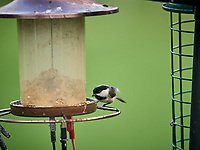 Black-capped Chickadee. Image taken with a Nikon D5 camera and 600 mm f/4 VR lens (ISO 1600, 600 mm, f/5.6, 1/500 sec).
