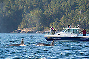 transient orca or killer whales, Orcinus orca, surface next to a whale watching tour boat, off Vancouver Island, BC, Canada