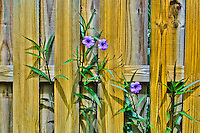 Purple Mexican Petunia Flowers on a wooden fence.