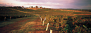 Vineyard, Hunter Valley, Australia