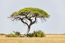 Mopane tree at Etosha National Park, Namibia, Africa