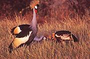 African wildlife, Crowned Crane, Kenya, Maasai Mara National Park