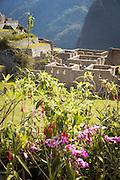 Orchids growing on a wall in Machu Picchu, Cusco Region, Urubamba Province, Machupicchu District in Peru, South America