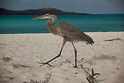 A great blue heron (ardea herodias) on the beach of Espanola Island, Galapagos Archipelago - Ecuador.