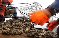 © David Trozzo-- 3/31/2008 Annapolis, Maryland, last day of oyster season aboard the Skipjack Helen Virginia