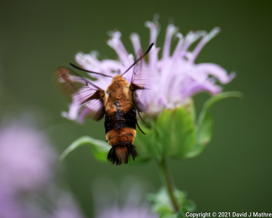 Snowberry Clearwing Moth (Hemaris Diffinis) feeding on a Bee Balm flower. Image taken with a Leica SL2 camera and 90-280 mm lens.