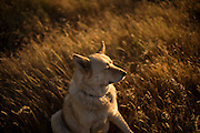 Ella the dog sits in a grass field at sunset in Folsom, CA on May 9, 2011.