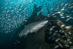 A Sand Tiger Shark, Carcharias taurus, surrounded by schooling fish at the wreck of the Atlas, Outer Banks, North Carolina, USA, Atlantic Ocean