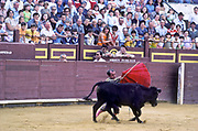 Dwarf bullfighter Guillermo Gomez takes on a bull steer in ring. He is part of a troupe  of dwarfs whom travel around Spain with a mission to entertain children and adults alike in the art of bullfighting.