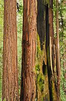 Coast redwood, Sequoia sempervirens, in Big Hendy Grove, Hendy Woods State Park, California