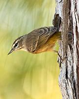 Palm Warbler (Setophaga palmarum). Fort De Soto Park. Pinellas County, Florida. Image taken with a Nikon D2xs camera and 80-400 mm VR lens.