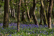 Bluebells start to bloom in Sulham Woods on 21st April 2021 in Sulham, United Kingdom. The UK is home to over half of the world's population of bluebells, split between the native English or British bluebell Hyacinthoides non-scripta, as in Sulham Woods, which is protected under the Wildlife and Countryside Act 1981, and the invasive Spanish bluebell Hyacinthoides hispanica.
