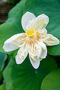 Lotus Blossom  Flower, Vietnam, Asia
