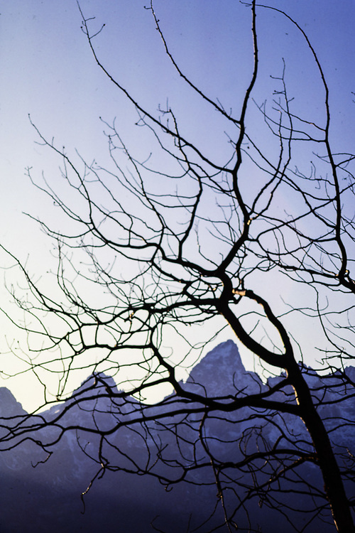 Aspen tree silhoutte and Grand Teton Peak, Grand Teton National Park, Wyoming, USA