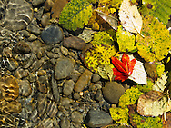 A red vine maple leaf mixed in with red alder leaves underwater in the Queets River, Olympic National Park.