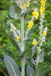 Verbascum bombyciferum 'Arctic Summer' (Silver Mullein)