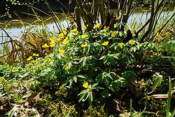 Gele anemoon, Anemone ranunculoides
