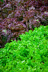 Lettuce 'Green Salad Bowl' and 'Merveille des Quatre Saisons' - Marvel of Four Seasons. Lactuca sativa