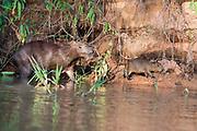Mother and juvenile capybara (Hydrochoeris hydrochaeris) on the banks of Cuiaba River, Pantanal, Brazil.