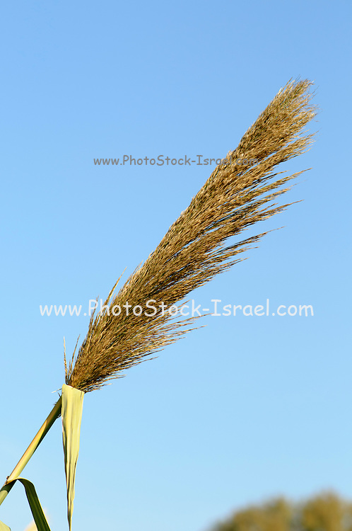 flowering Reed growing on the Yakon River, Israel with blue sky background