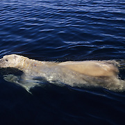 Polar Bear (Ursus Maritimus) swimming in Wager Bay, Northwest Territories in Canada.