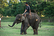 Asian elephant (Elephas maximus) domestic being trained<br /> Kaziranga National Park<br /> Assam<br /> North East India<br /> UNESCO World Heritage Site<br /> ENDANGERED