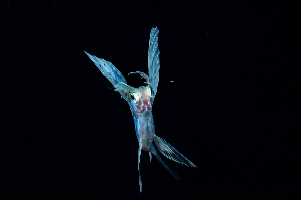 A flying fish (possibly the spotfin flyingfish Cheilopogon furcatus) in the Sargasso Sea in the middle of the Atlantic Ocean.