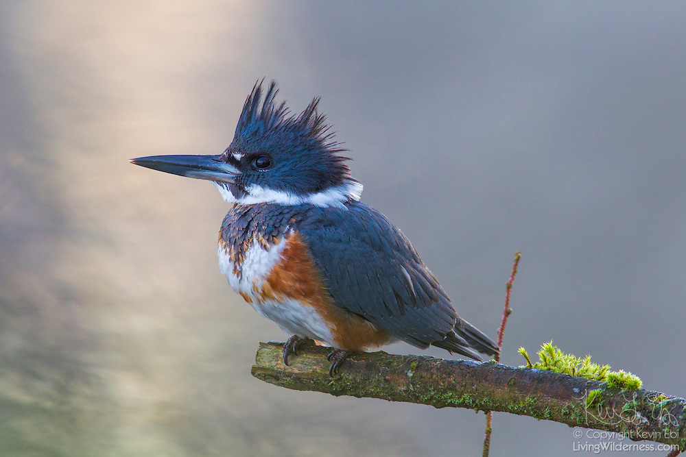 A female belted kingfisher (Megaceryle alcyon) hunts from its perch on a branch over the Sammamish River in Kenmore, Washington. Kingfishers often sit on prominent exposed perches, about 5 to 20 feet above the water, searching for small fish. When they find one, they dive head first into the water to catch it.