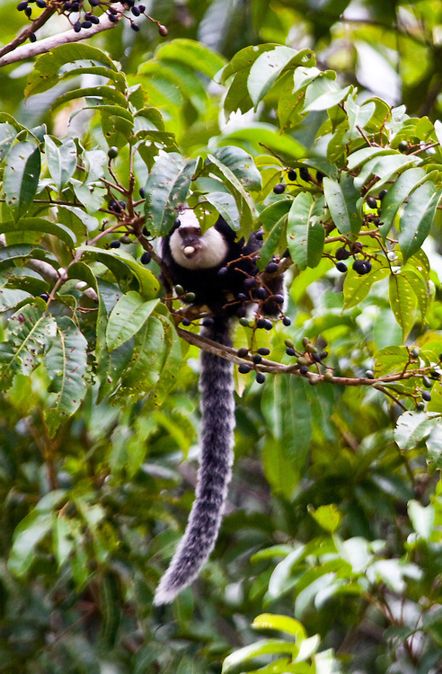 Porto Seguro_BA, Brasil...Macaco em uma Reserva Particular do Patrimonio Natural (RPPN) em Porto Seguro...A monkey in the Private Reserve of Natural Heritage (RPPN)...Foto: JOAO MARCOS ROSA / NITRO