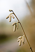 Hazel Catkins, Bruern Wood, The Cotswolds, United Kingdom