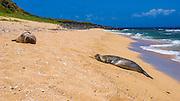 Seals on Miloli'i Beach, Na Pali Coast, Island of Kauai, Hawaii USA