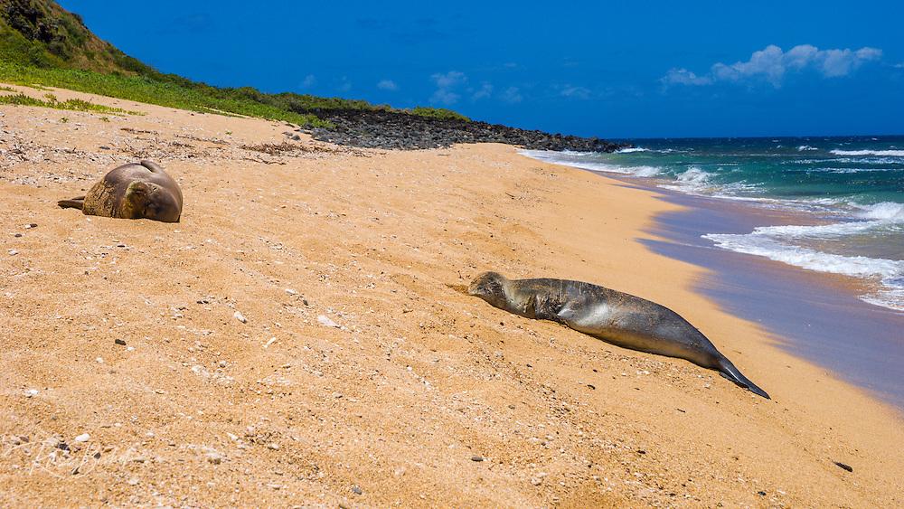 Seals on Miloli'i Beach, Na Pali Coast, Island of Kauai, Hawaii USA