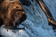 Bear 775 Lefty watches a salmon as it attempts to leap Brooks Falls in Katmai National Park, Alaska
