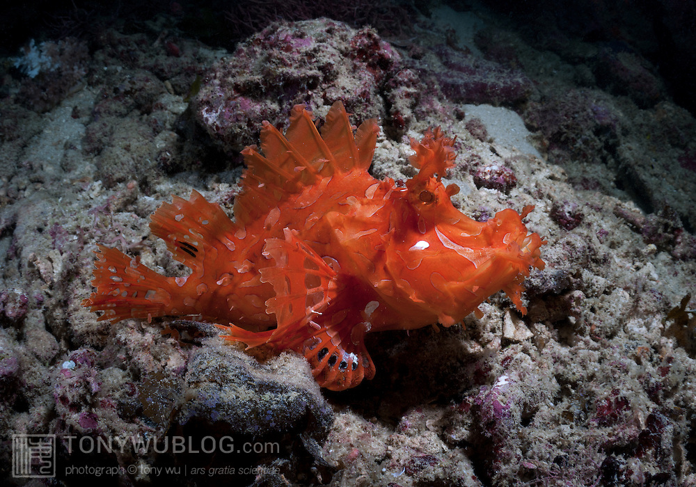 Bright tangerine-orange lacy scorpionfish in Papua New Guinea