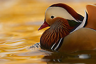 The Mandarin Duck, or just Mandarin, is a medium-sized, East Asian perching duck, closely related to the North American Wood Duck.
