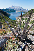 Hike Norway Pass to see a forest of timber downed by volcanic blast in Mount Saint Helens National Volcanic Monument, Skamania County, Washington, USA. Spirit Lake is covered with floating logs from a forest blasted and avalanched by the May 18, 1980 eruption, the most deadly and destructive volcanic event in the history of the United States. The debris avalanche, the largest in recorded history, shrank the mountain from 9677 feet (2950 m) elevation to 8364 feet (2550 m), leaving a mile-wide horseshoe-shaped crater.  Fifty-seven people were killed. 250 homes, 47 bridges, 15 miles of railways, and 185 miles of highway were destroyed. The active stratovolcano of Mount Saint Helens is one of 160 active volcanoes that comprise the Pacific Ring of Fire.  Mount St. Helens, part of the Cascade Range, takes its English name from the British diplomat Lord St Helens, who was a friend of George Vancouver, an explorer who surveyed the area in the late 18th century.