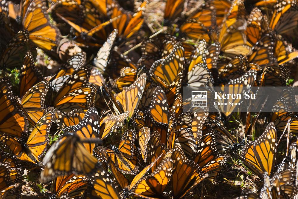 Monarch butterflies, Michoacan, Mexico