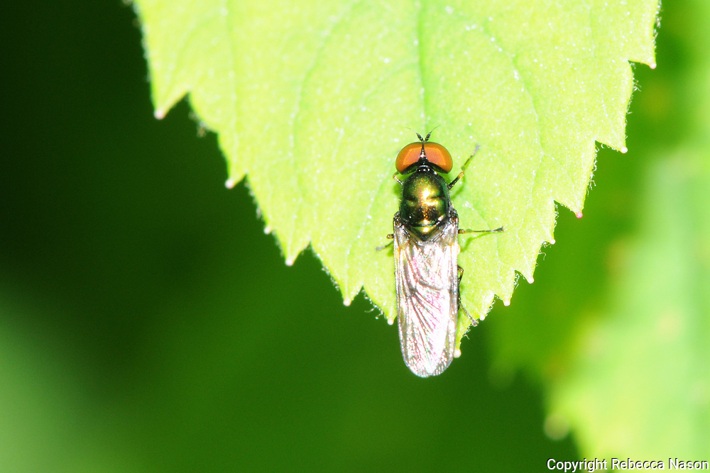 """Steven Falk: """"One of our three Microchrysa species - small, metallic soldierflies lacking spines on the scutellum. This species is readily distinguished by the all-black antennae and black front femorae.<br /> <br /> M. polita is a widespread and locally common species usually found in the vicinity of shrubs and trees. Habitats used include woodland, gardens, hedgerows and scrubby brownfield sites.<br /> <br /> The larvae develop in various decomposing substances including compost, grass cuttings and dung. The can be identified using Stubbs & Drake (2001). Adults fly from March until October, which is probably the longest flight period for a British soldierfly. Both sexes to rest on shrub or tree foliage and females sometimes congregate around compost heaps and compost heaps."""""""
