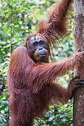 A full grown male (Pongo pymaeus) posing before climbing a tree,  Tanjung Puting National Park, Central Kalimantan, Borneo, Indonesia