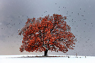 Tree in the middle of a snow field and flying birds