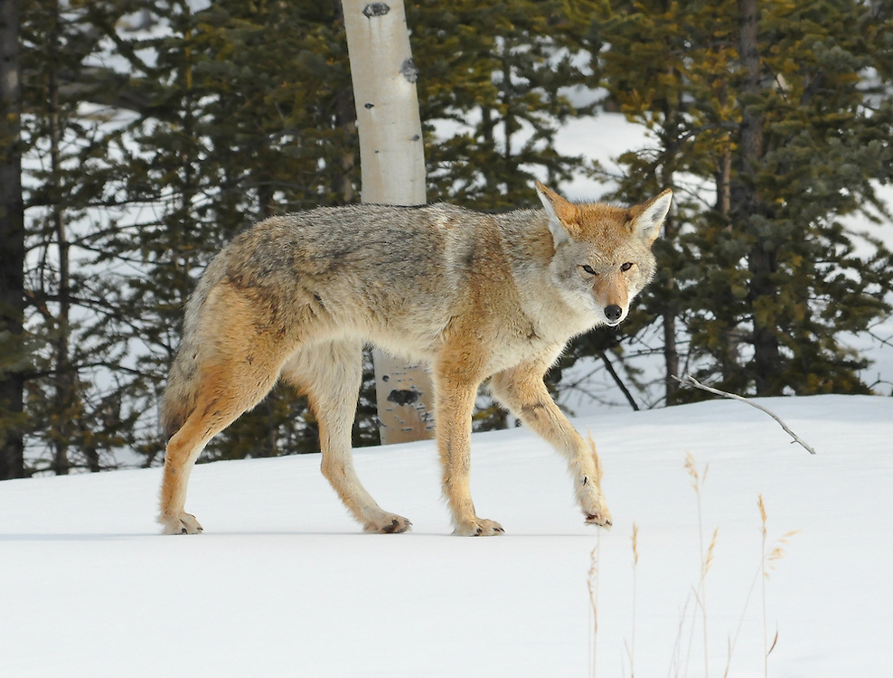 Coyote on the search for the next meal
