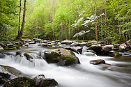 66745-04207 Dogwood trees in spring along Middle Prong Little River, Tremont Area, Great Smoky Mountains National Park, TN