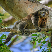 An arboreal marsupial in the family Phalangeridae (possum) endemic to Sulawesi and nearby islands in Indonesia. It lives in tropical moist lowland forest. It is diurnal, folivorous and often found in pairs.<br /> <br /> Tangkoko National Park, Indonesia