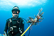 Scuba diver with a catch of Lionfish (Pterois volitans), an invasive and poisonous species that has spread throughout the Caribbean and tropical Atlantic and threatens a variety of native marine life.