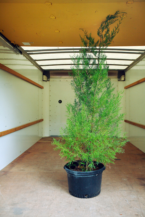 Trees sit in a moving truck, waiting to be transplanted in new locations.