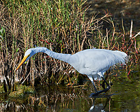 Great Egret (Ardea alba). Black Point Wildlife Drive, Merritt Island Wildlife Refuge. Merritt Island, Brevard County, Florida. Image taken with a Nikon D3x camera and 300 mm f/2.8 VR lens.