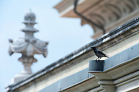 Hooded crow (Corvus corone cornix) in Vatican's garden, Rome, Italy