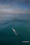 Hector's dolphin, Cephalorhynchus hectori, and snorkeler on swim-with-dolphins tour, Endangered Species, endemic to New Zealand, Akaroa, Banks Peninsula, South Island, New Zealand ( South Pacific Ocean )