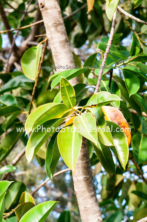 Close up of the Rubber tree AKA Rubber fig (Ficus elastica)